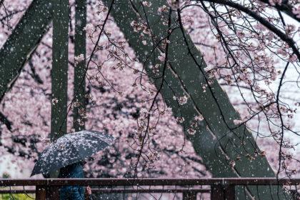 雪と桜@大横川