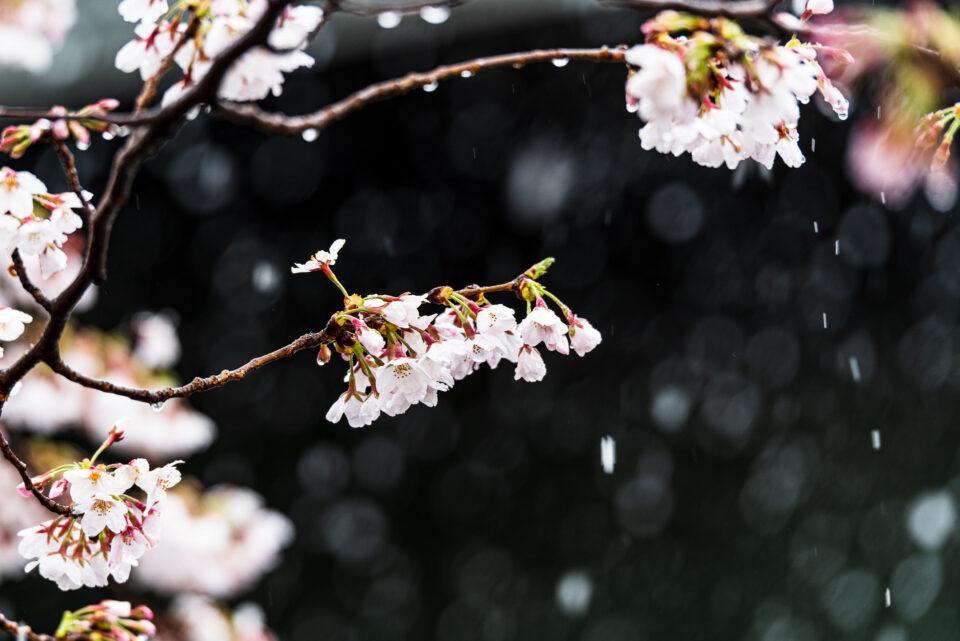 ソメイヨシノと雪
