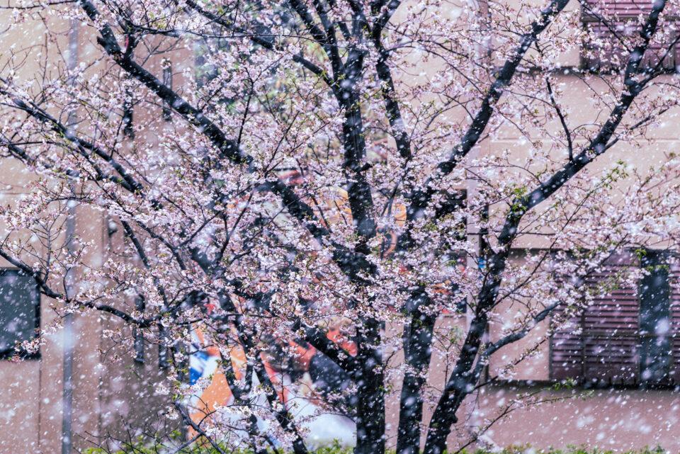 大横川の桜並木に降る雪
