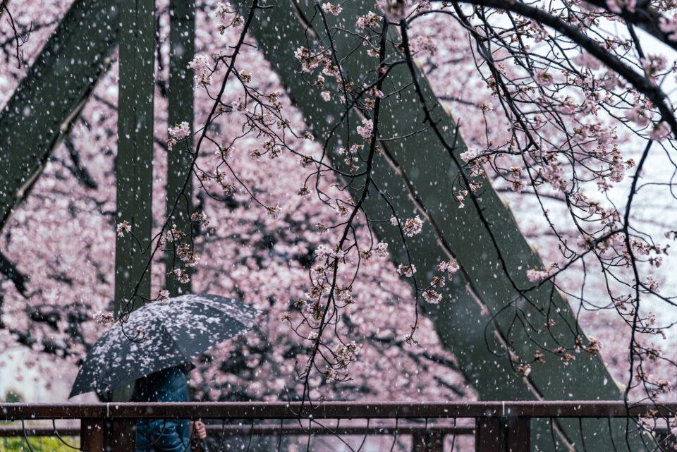 雪と桜、傘を差して歩く人