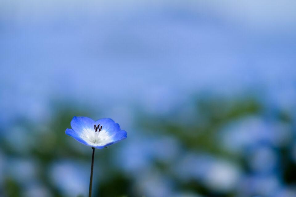 青い背景が溶けるネモフィラ