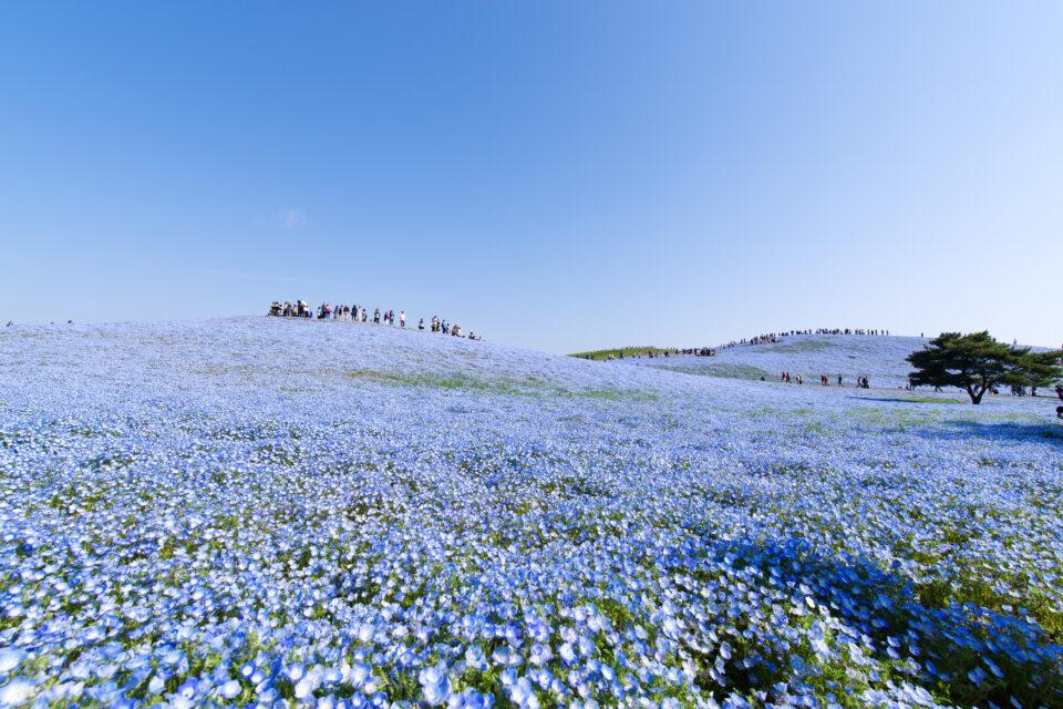 真っ青なネモフィラの丘