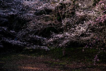 佐倉城趾出丸跡の桜