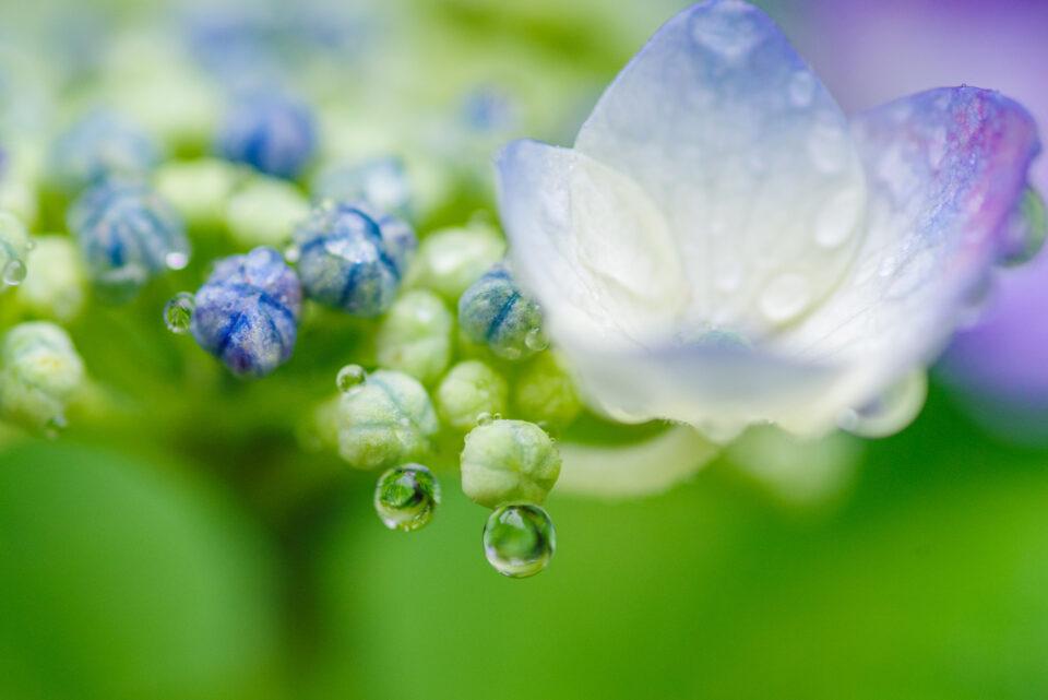 額紫陽花についた水玉