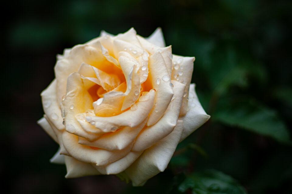 雨に濡れたクリーム色のバラ
