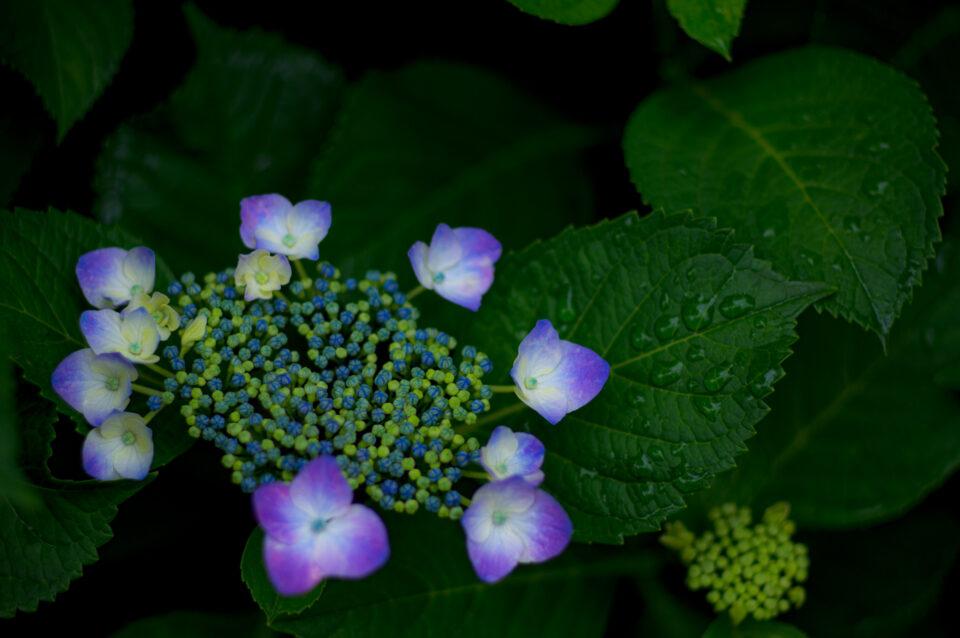 青紫の額紫陽花