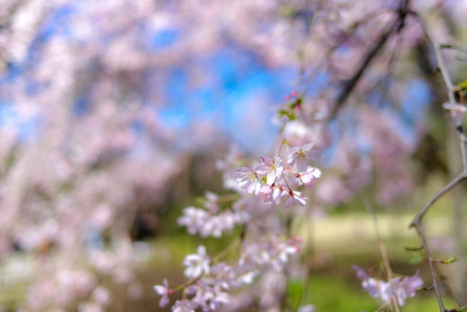 六義園のしだれ桜(処理前)