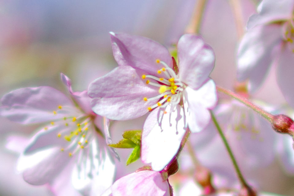 桜_ピンボケ