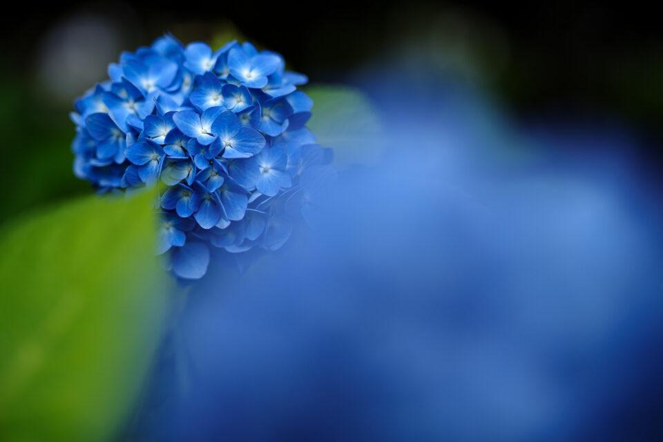 濃いブルーの紫陽花と前ボケ