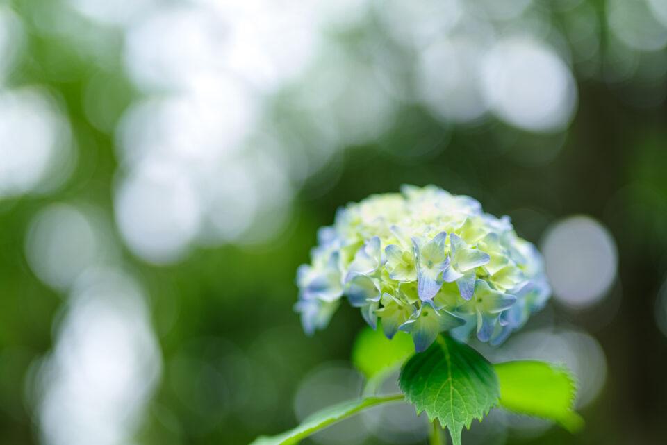 玉ボケと紫陽花