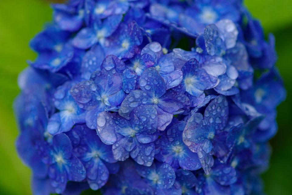 雨に濡れた青紫の紫陽花