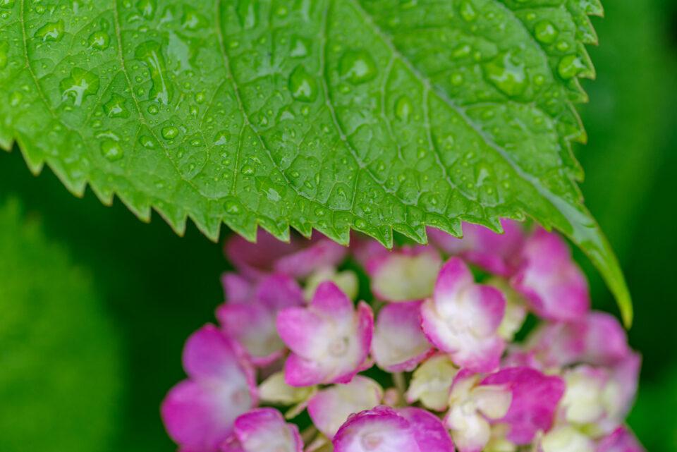 雨に濡れた紫陽花の葉っぱ
