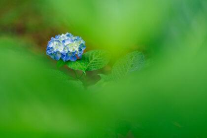 グリーンに埋もれる青い紫陽花