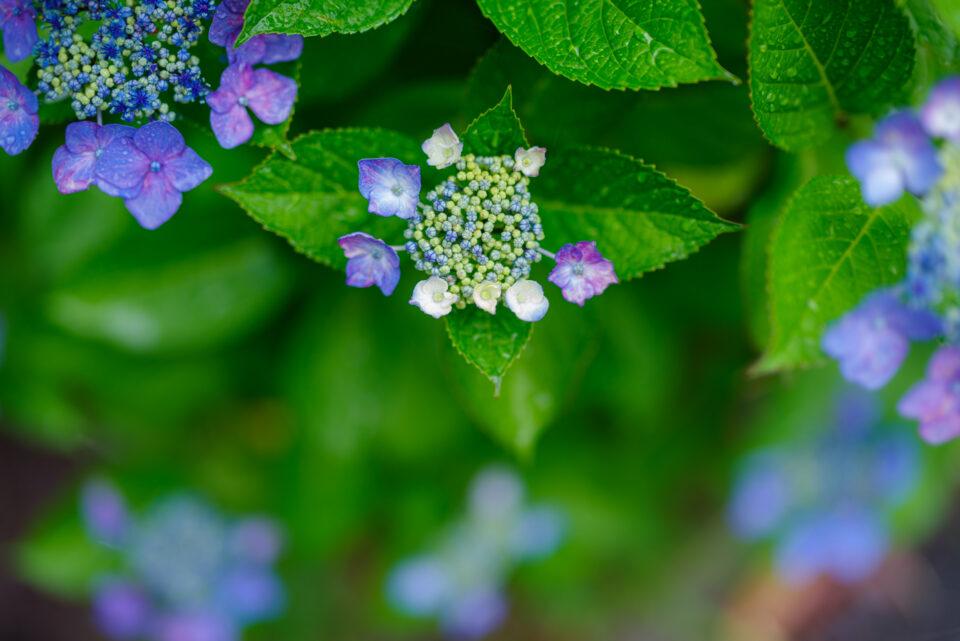 小さな額紫陽花