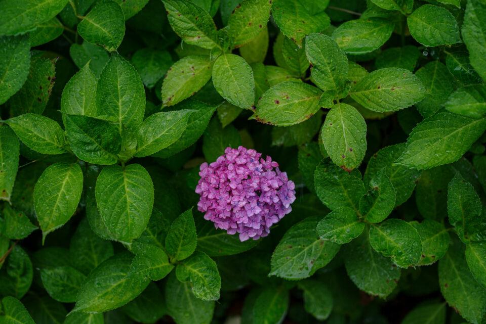 一輪咲きの赤い紫陽花