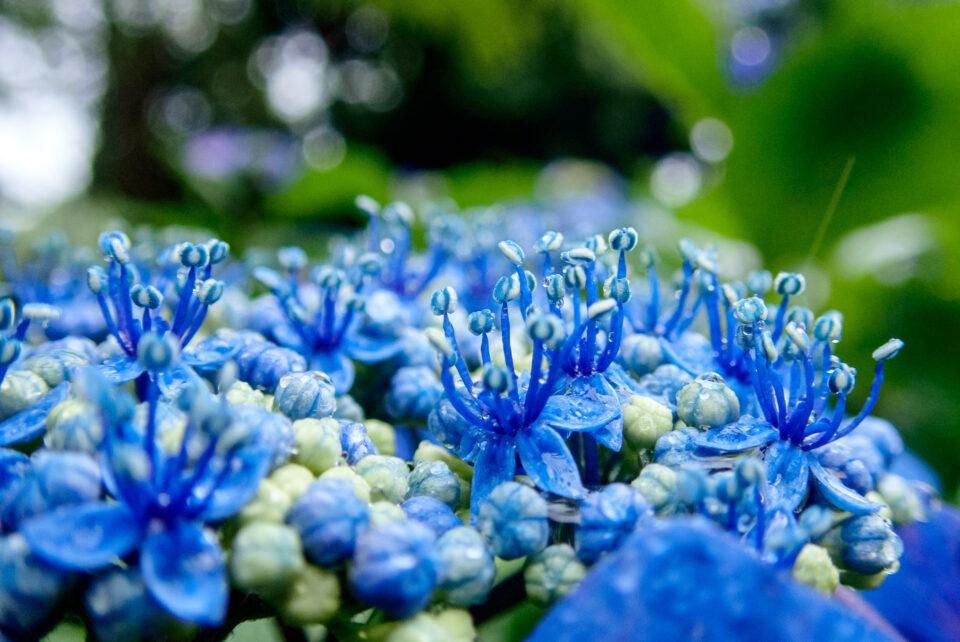 開花した額紫陽花