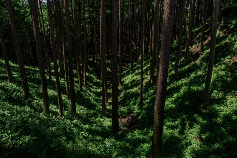 杉林となった堀の跡