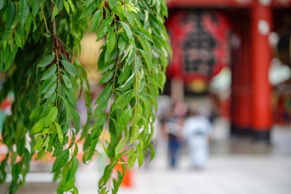 宝蔵門前のしだれ葉桜