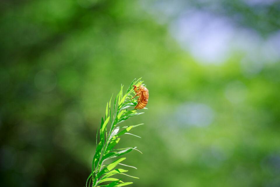 草の先っぽの空蝉