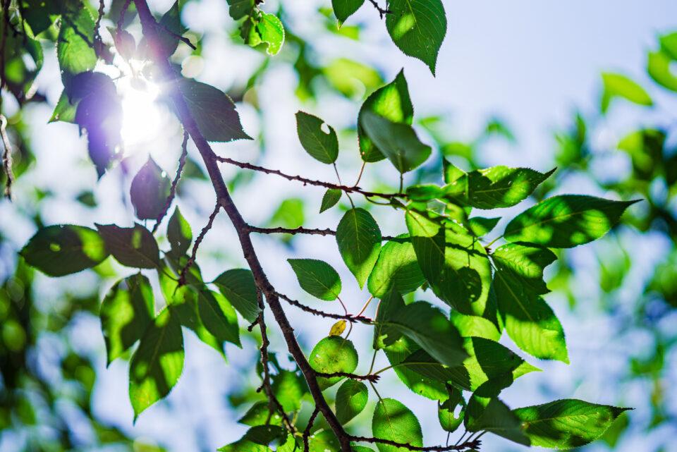 桜の葉 逆光