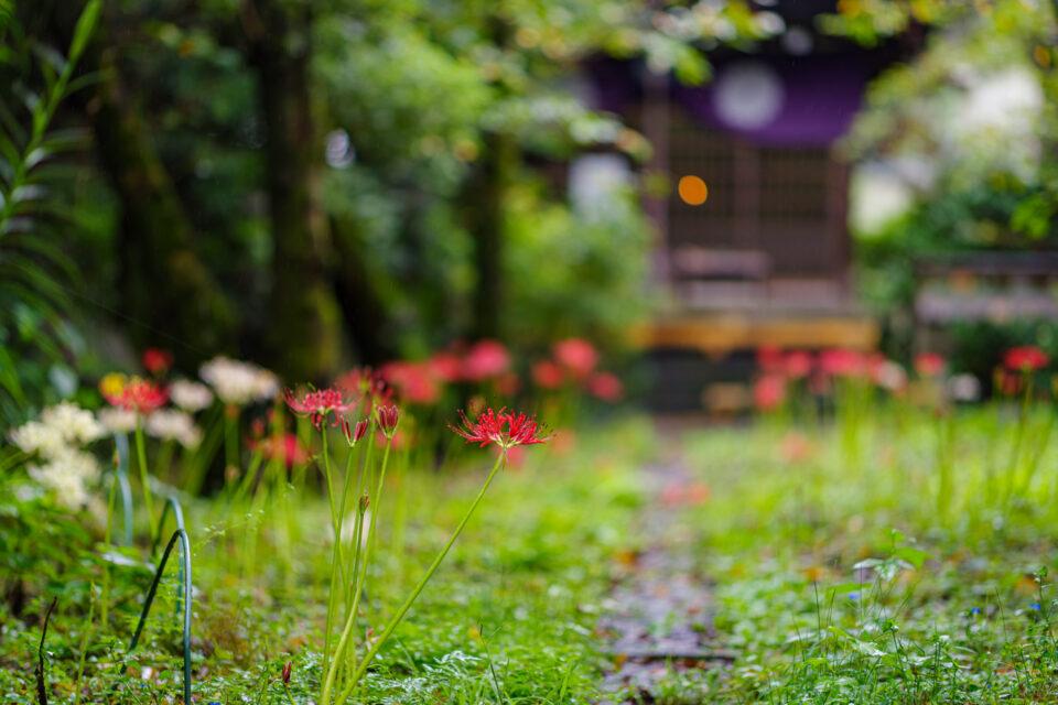 宝蔵院の彼岸花