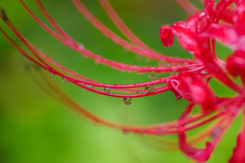 彼岸花と水滴のマクロ