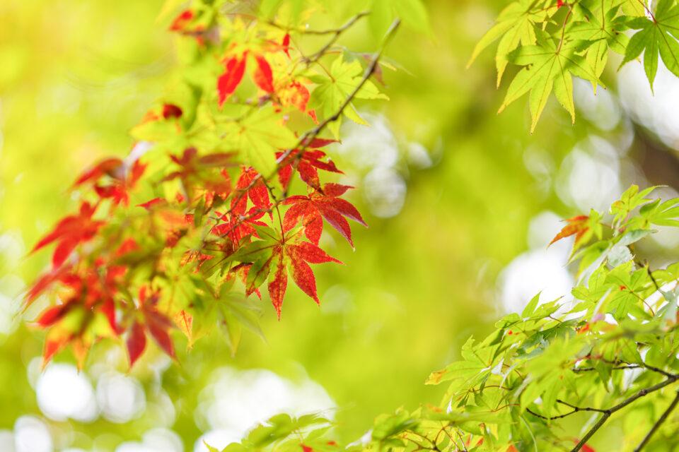 赤と緑が混ざる紅葉