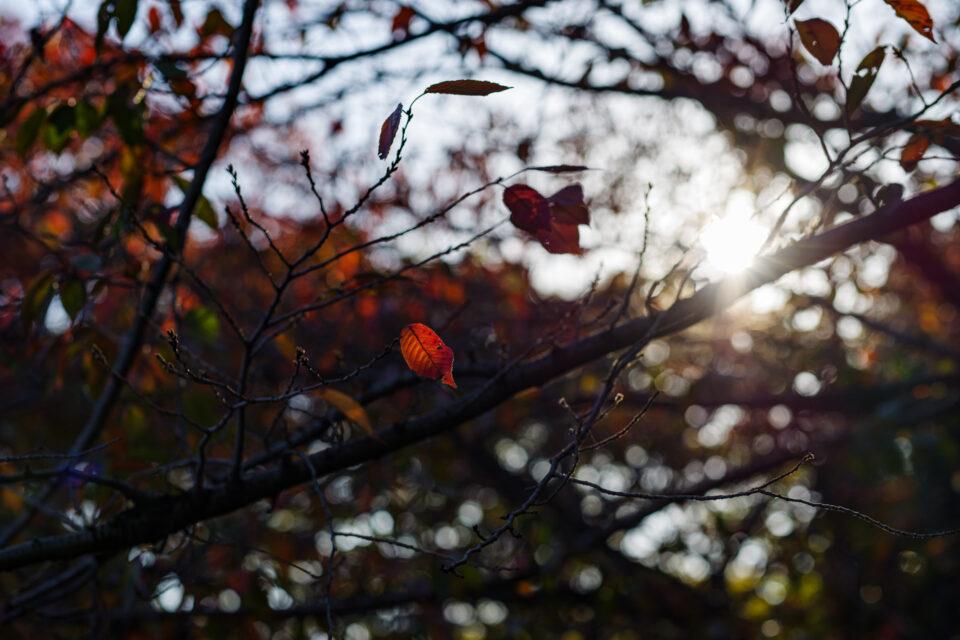 逆光と桜の紅葉