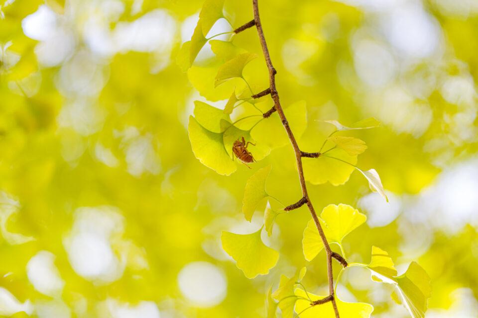 黄葉した銀杏と空蝉