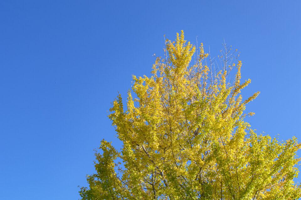 青空と銀杏