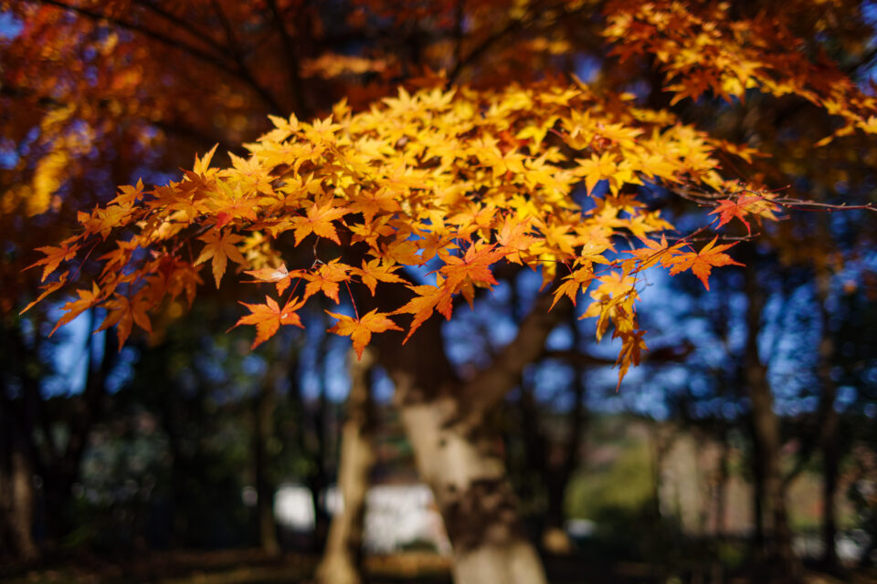 黄色く色づいた紅葉