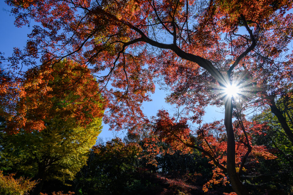 六義園の逆光の紅葉