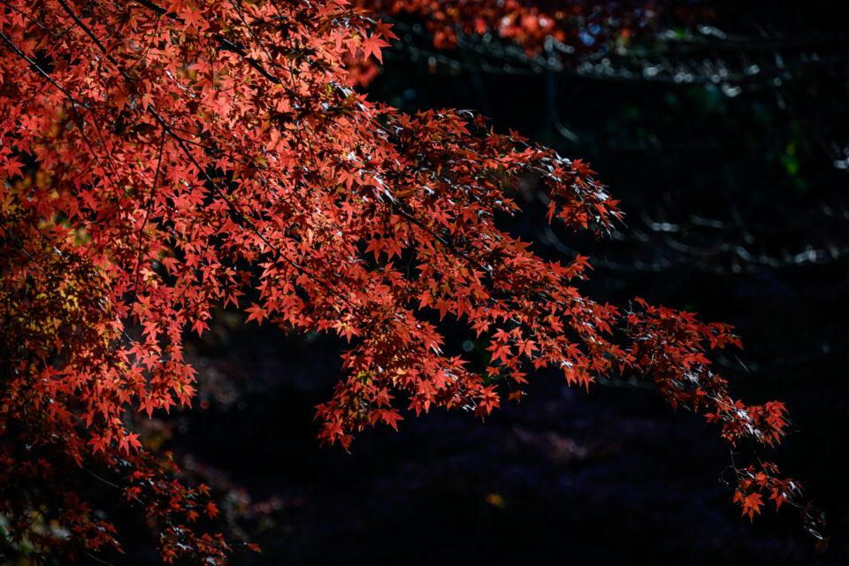 六義園の真っ赤な紅葉