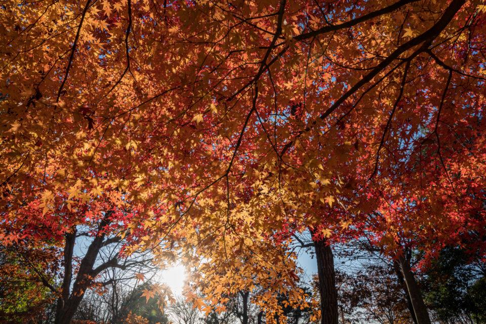 朝日の逆光と紅葉