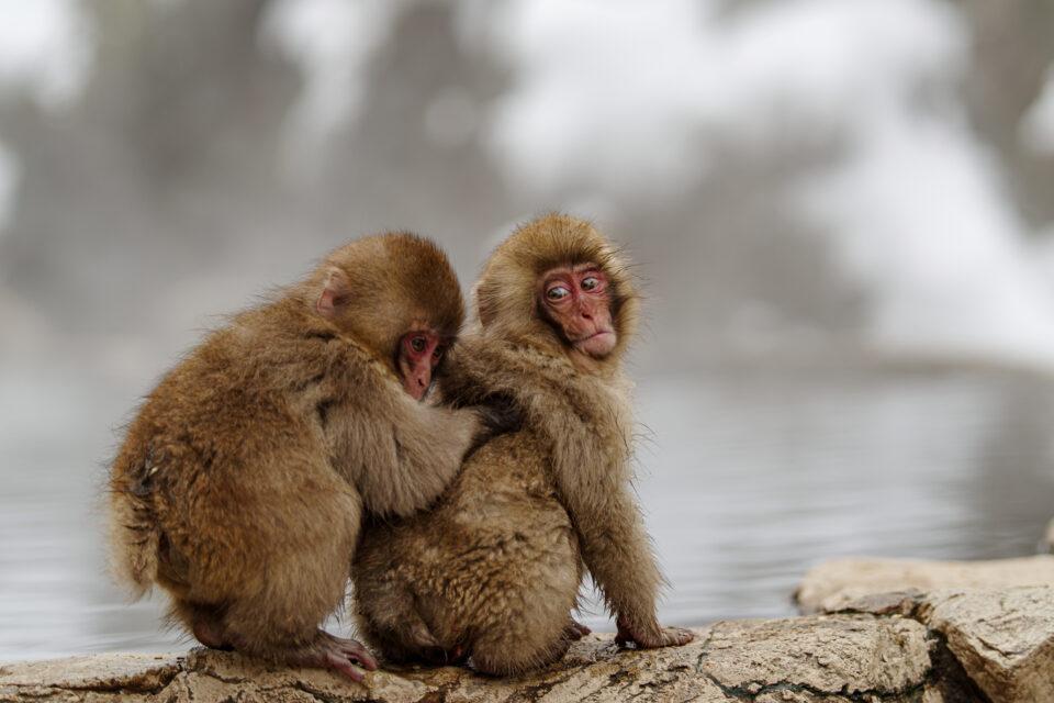 温泉の脇でグルーミングする子猿