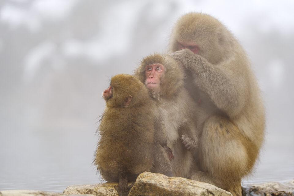グルーミングする親子猿