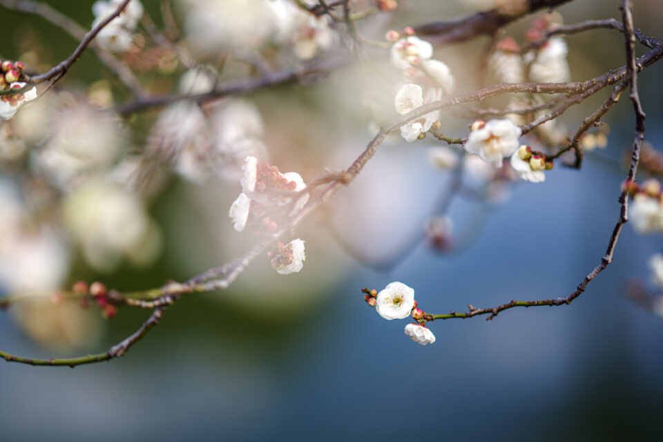 亀戸天神の池に咲く梅