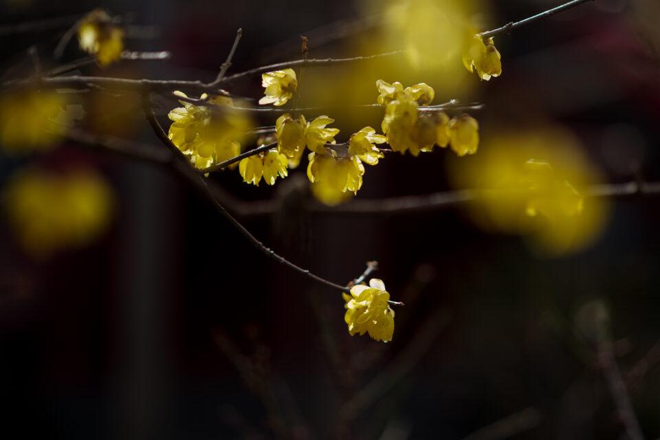 亀戸天神の蝋梅