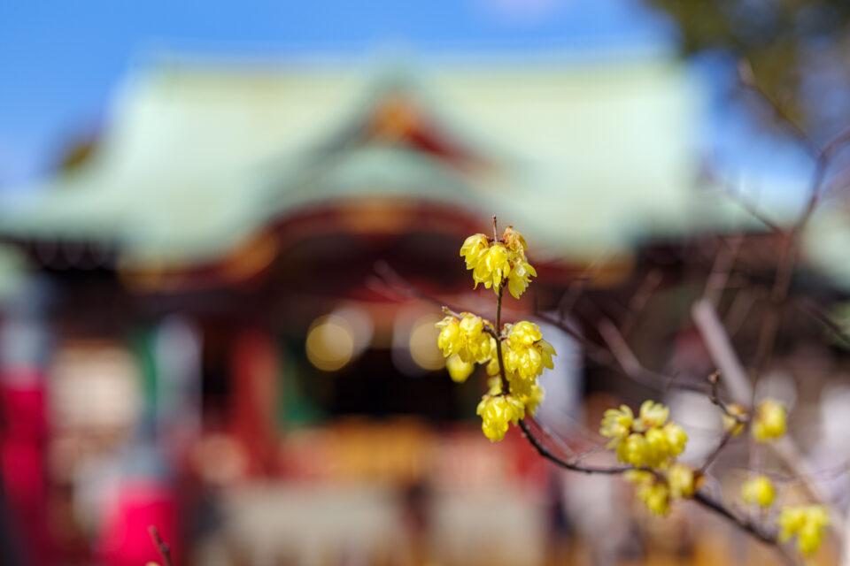 亀戸天神本殿前の蝋梅