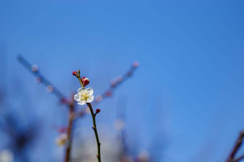 青空と一輪だけ咲いた梅