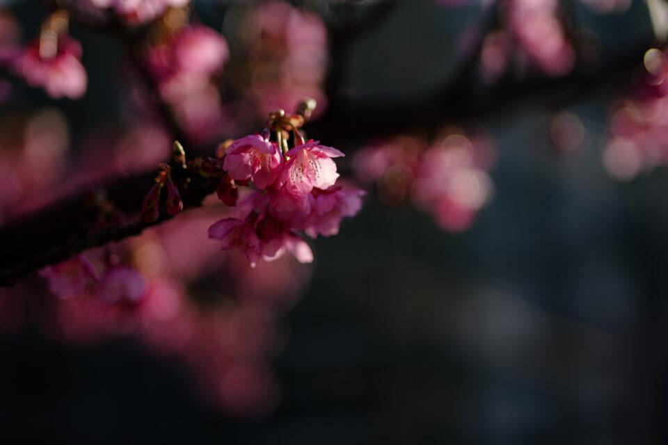 ローキーな河津桜