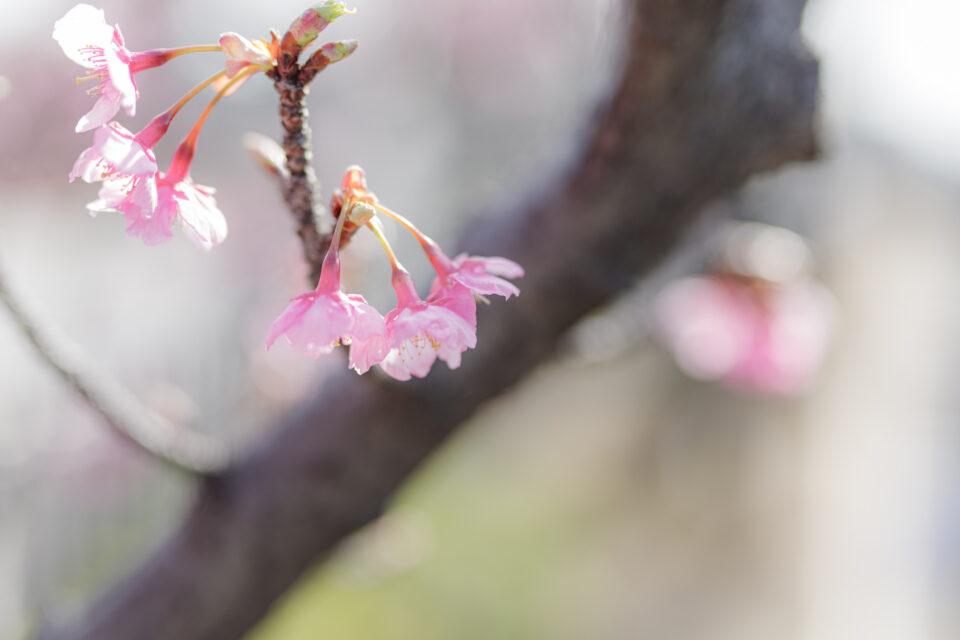 ほのか風 河津桜