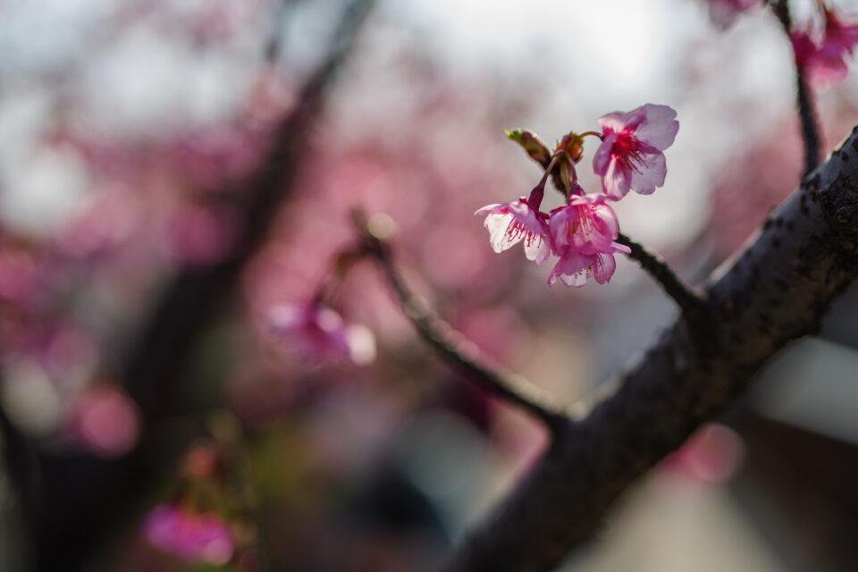 逆光の河津桜