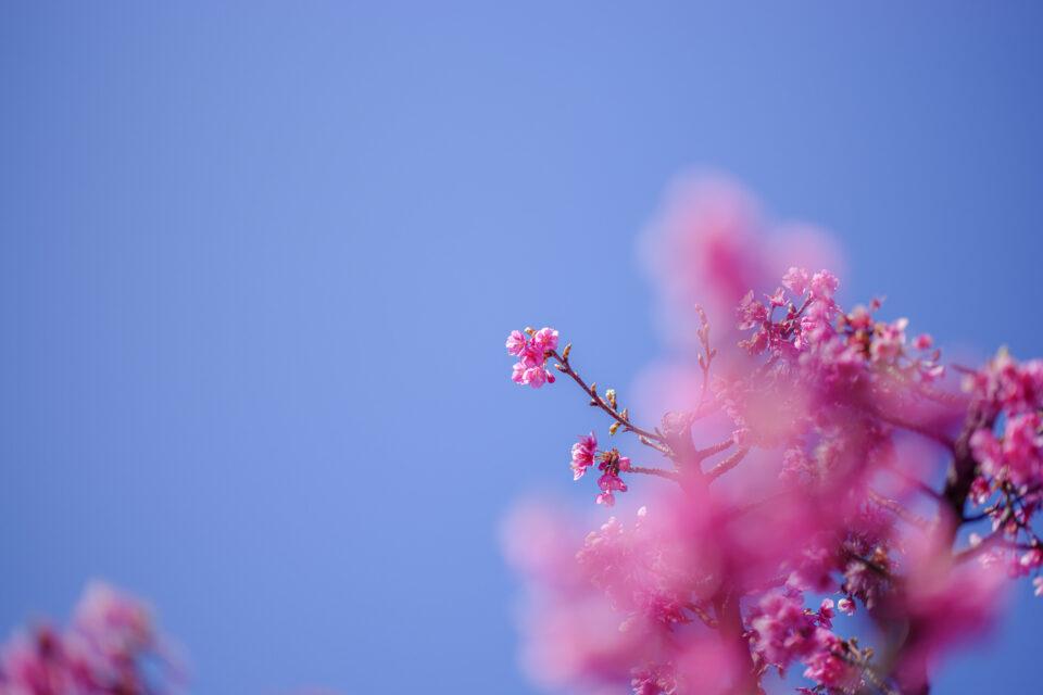 青空と前ボケの河津桜