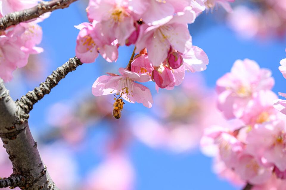 河津桜と蜜蜂