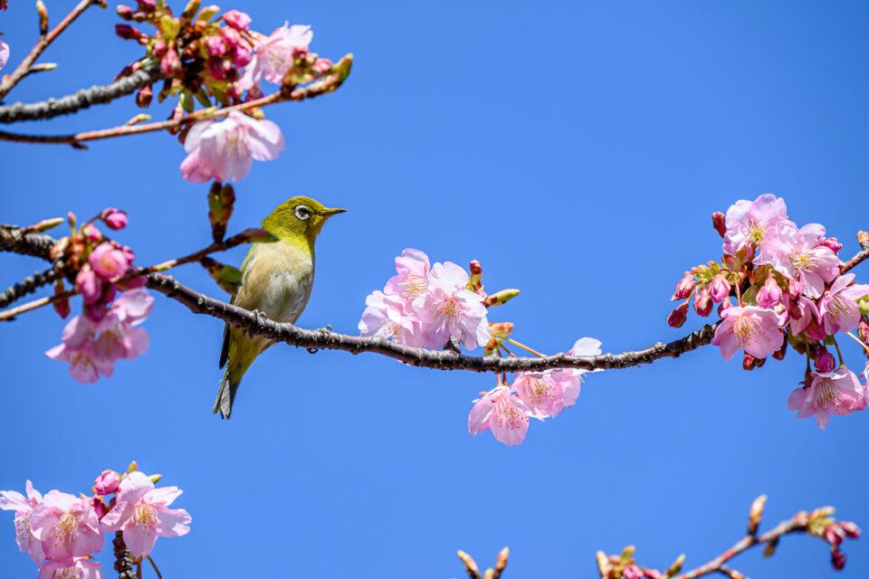 河津桜と青空とメジロ