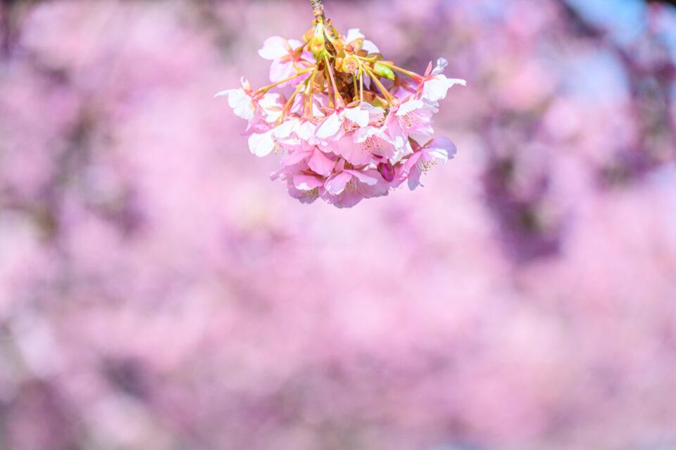 ピンクの河津桜