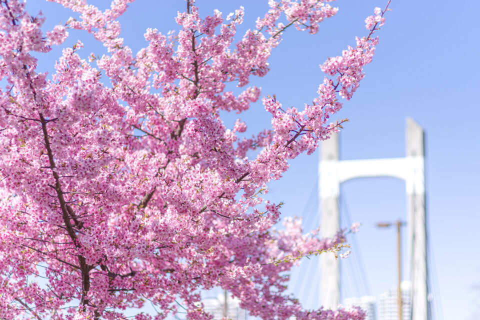 木場公園大橋と河津桜
