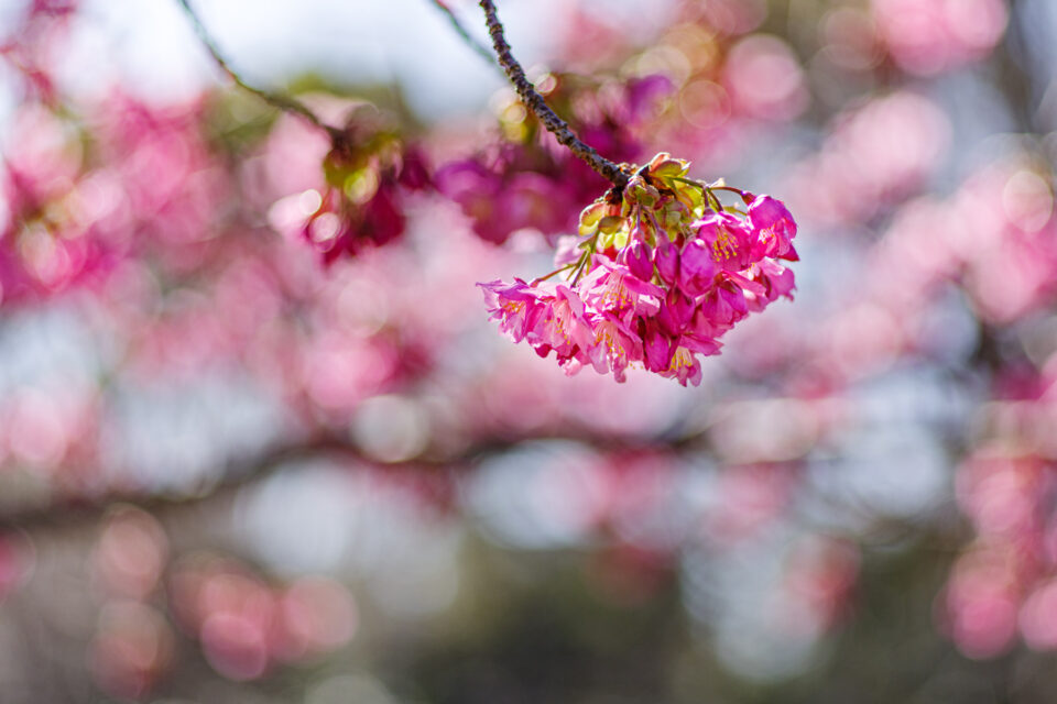 色の濃い河津桜