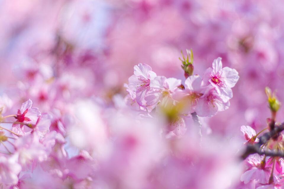 前ボケの河津桜